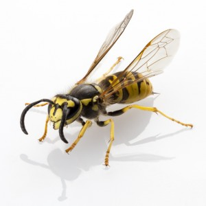 DIY remedies for removing a yellow jacket nest