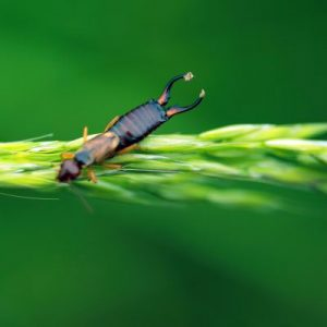 The common earwig (Forficula auricularia) is a night-feeding insect that transforms into a pest when it feeds on garden offerings, particularly plant shoots ...