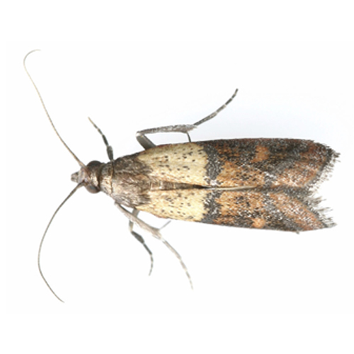 The indian meal moth