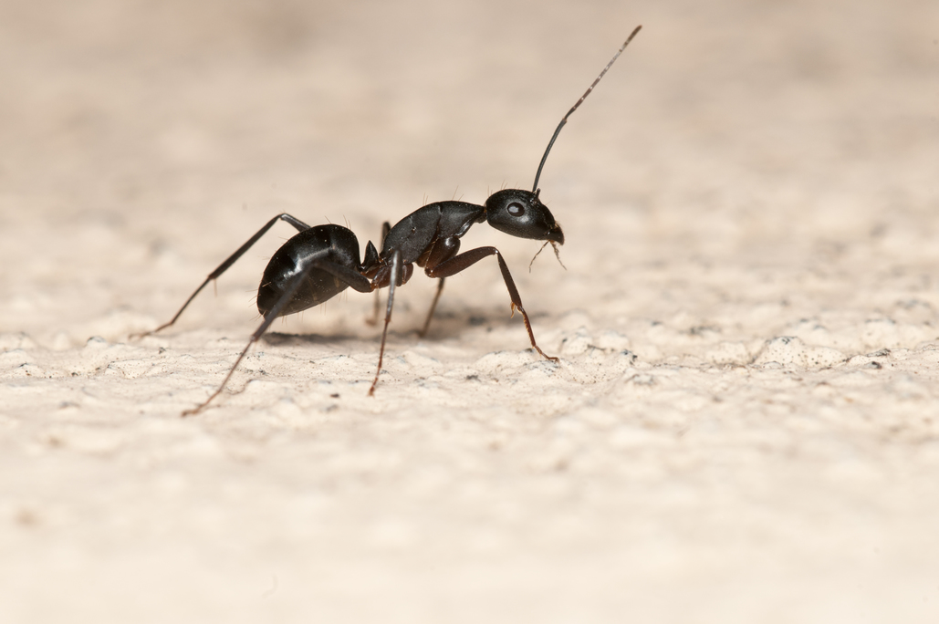 How to get rid of carpenter ants in walls | The Bug Man