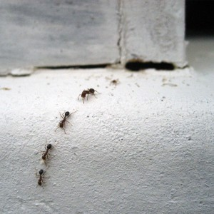 Ant Exterminator Portland ant in a line in manufacturing plants